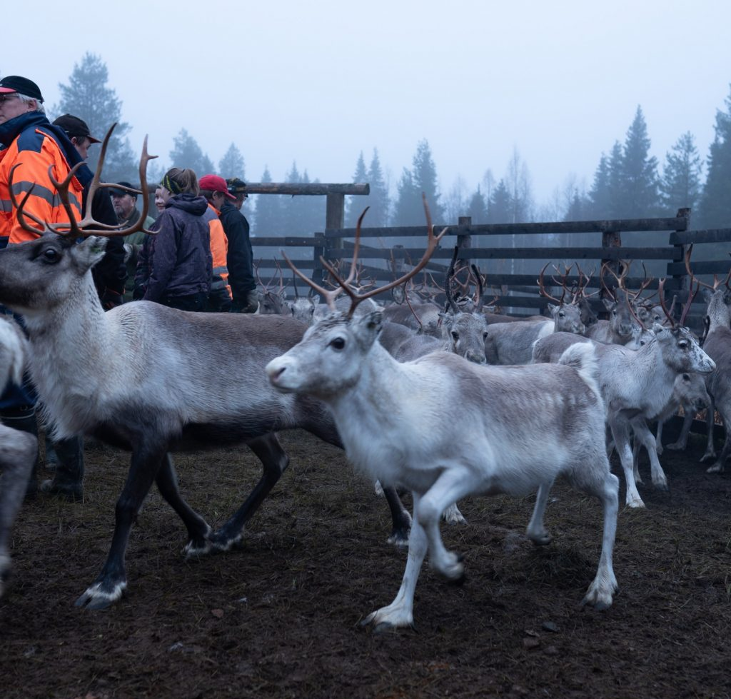 Reindeer gathering in Lapland