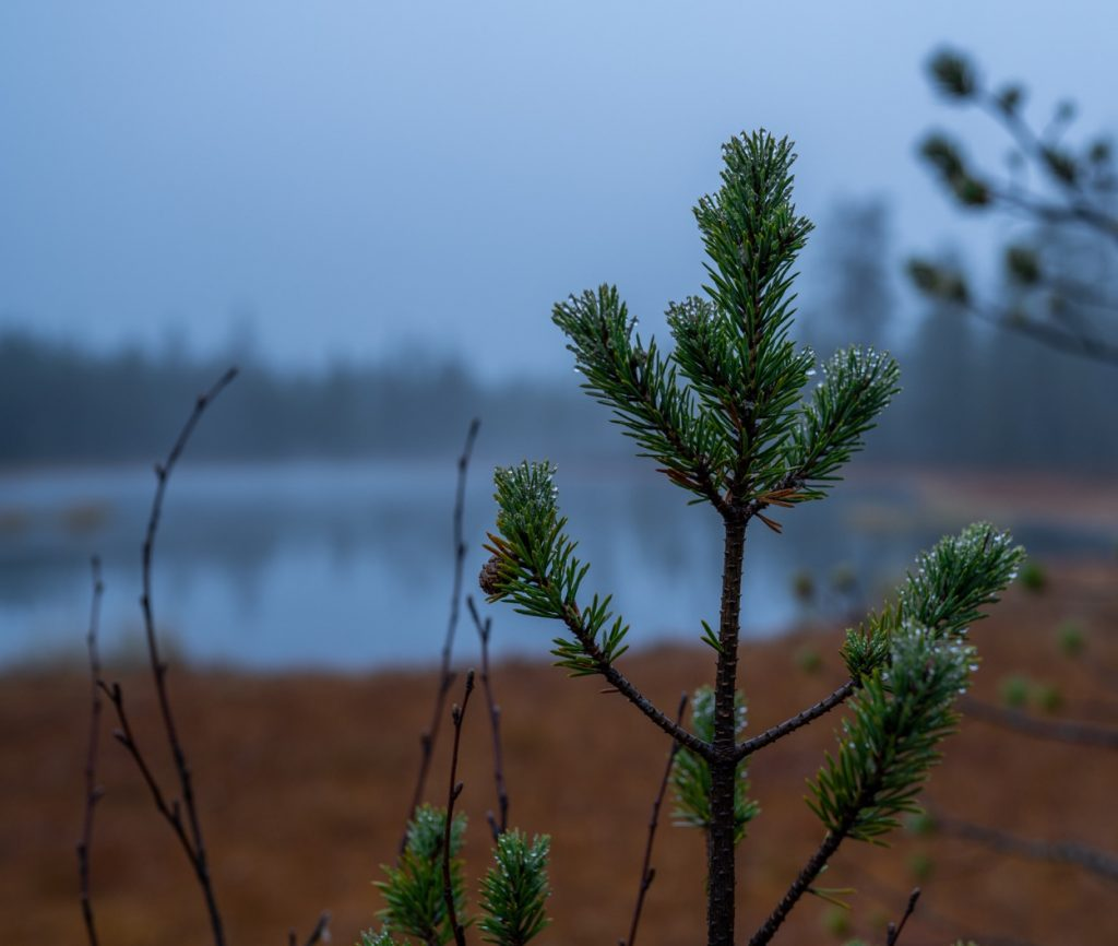 Reindeer gathering in Lapland - Pine tree