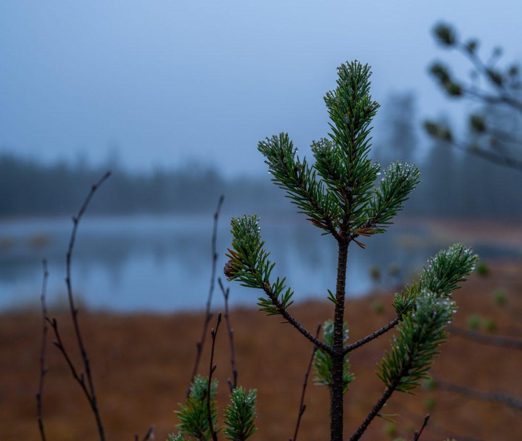 Reindeer gathering in Lapland - Pine tree