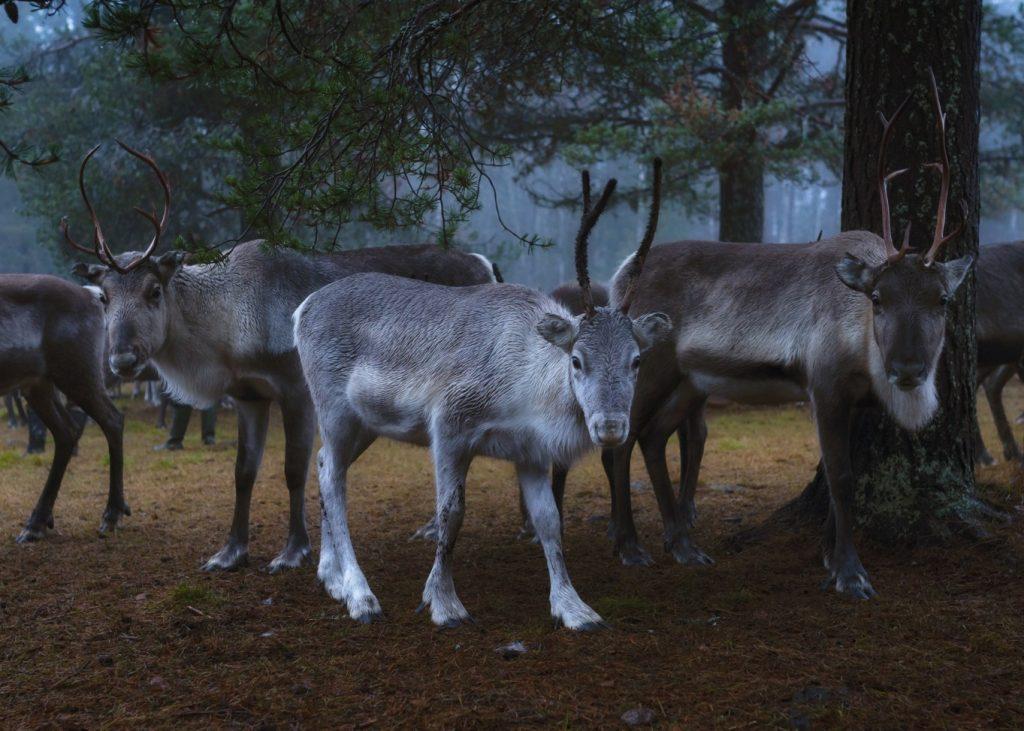 Reindeer gathering in Lapland