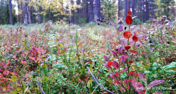 Shrubs in Lapland