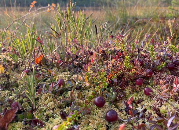 Bog of cranberries