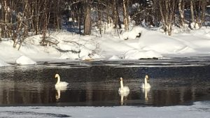 Swans in Kutuniva Muonio