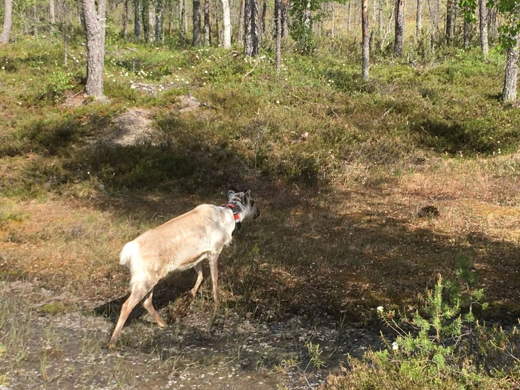 Reindeer at Rumavaara