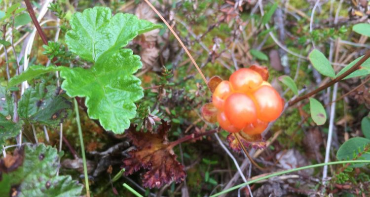 Cloudberries are the real gold of Lapland - Out in the Nature