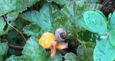 Cloudberry and snail