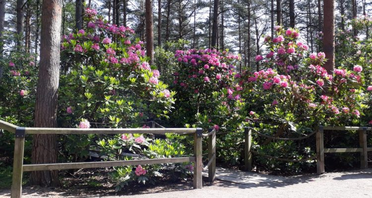 Rhododendron flowers at Haaga park in Helsinki