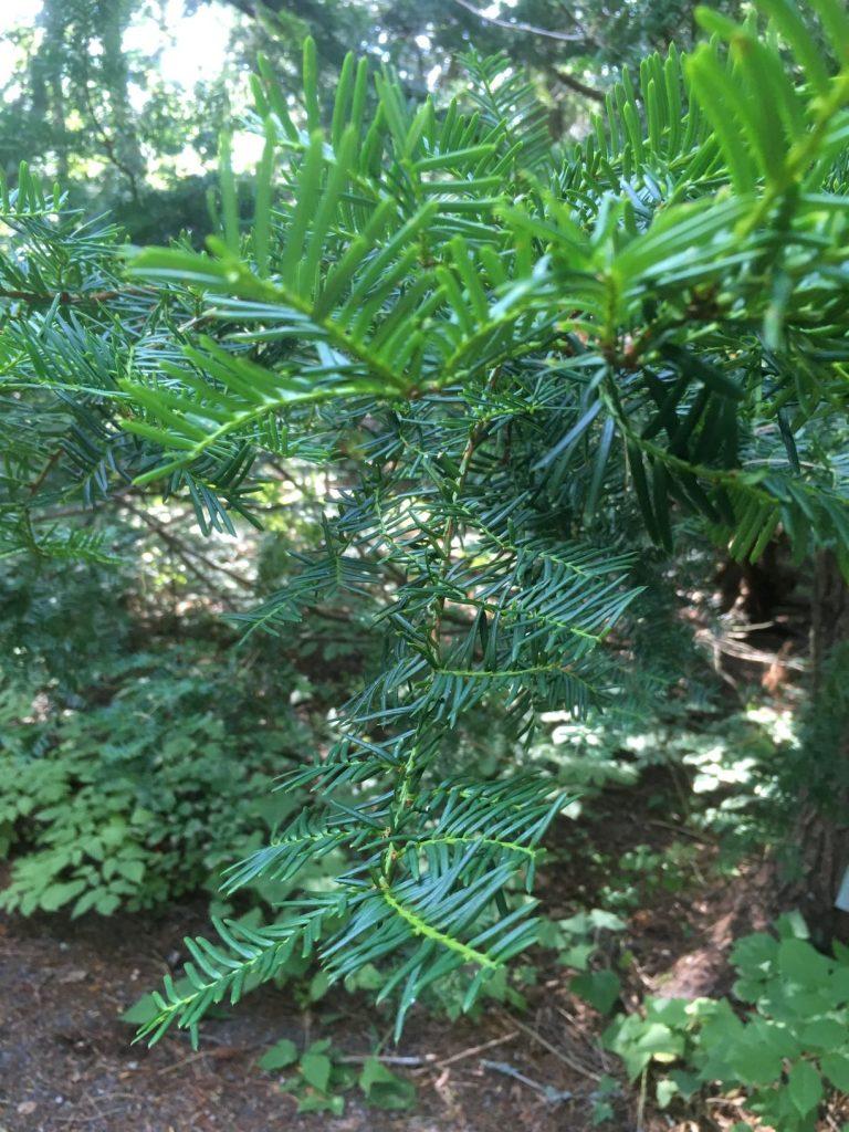 Hörtsänä Arboretum tree