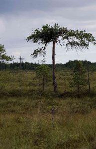 Osprey nest at Valkmusa