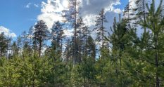 Ämyri pine forests