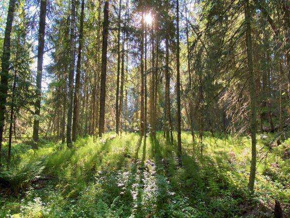 Forest at Ryövärinkuoppa nature reserve