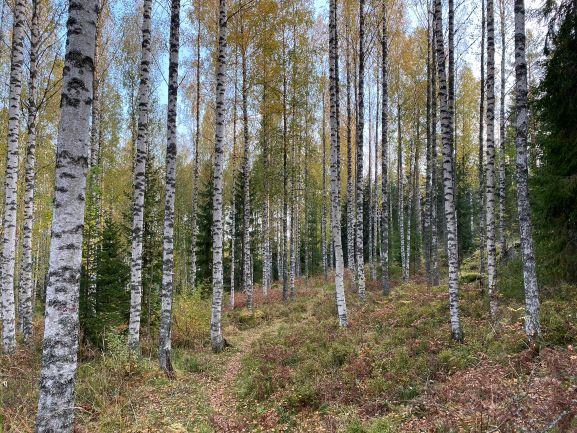 Bergvik birch trees