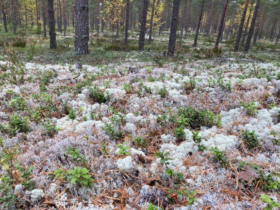 Harjureitti Little Lapland