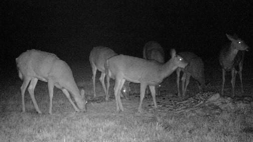 Deers at night