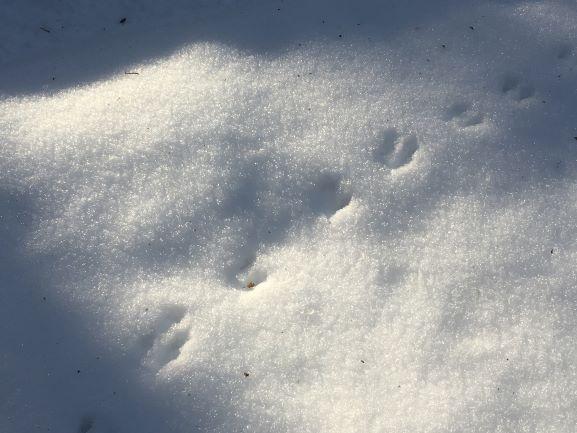 Animal tracks on the snow