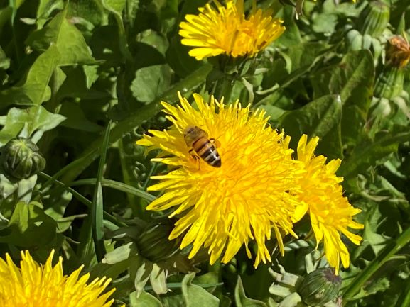 Dandelion is a common wild herb in Finland