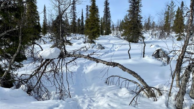Snowshoeing trail in Lapland
