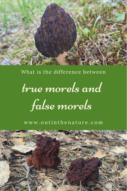 What is the difference between true morels and false morels Pinterest