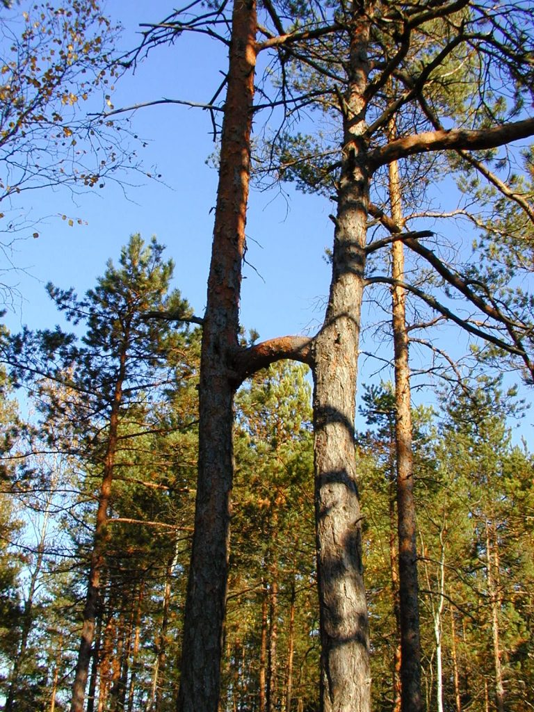 Paimio Hiking Trail - The Two-Trunk Pine
