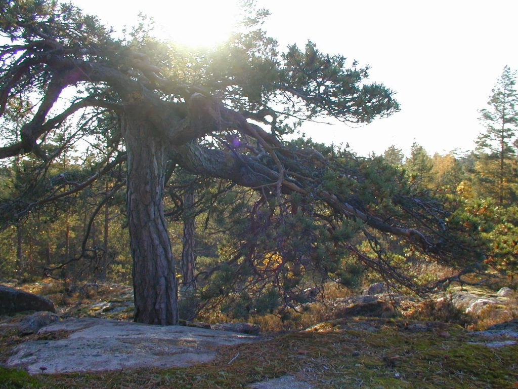 Paimio Hiking Trail - The pine
