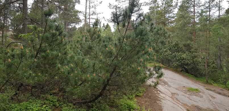 Dwarf mountain pines at Haltiavuori. Vuorimänty Haltiavuorella.