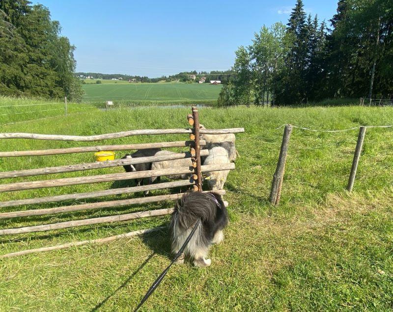 Sheep encounter